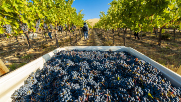 USA, Washington, Red Mountain.   Harvest 2019, Quintessence Vineyard, Cabernet Sauvignon.